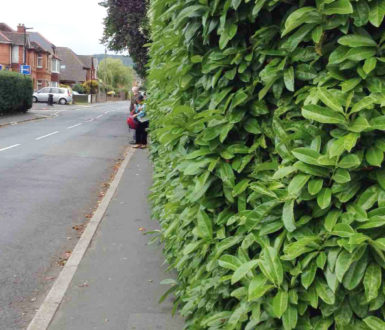 Overhanging Hedge